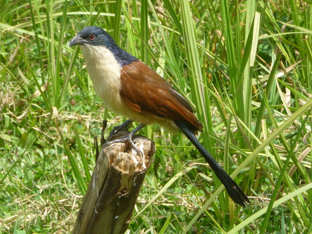 Coucal Kisiizi Falls