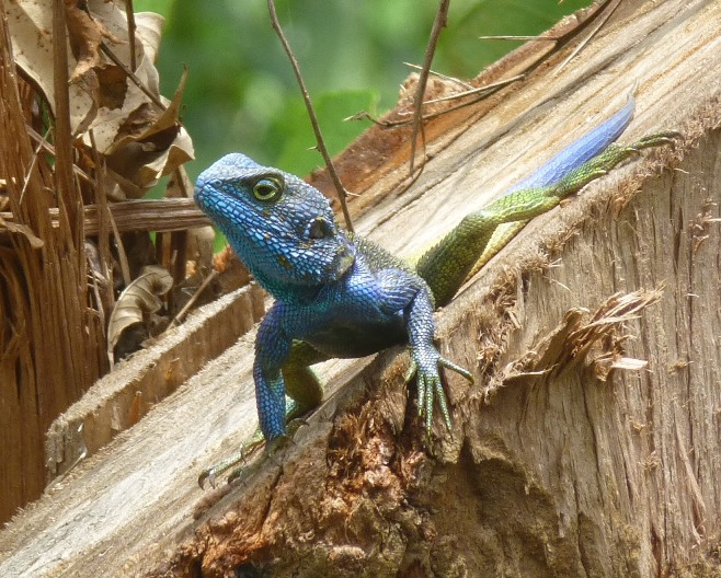 lizard at Kisiizi