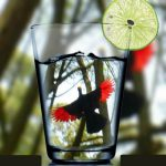 Ross' Turaco in a glass!